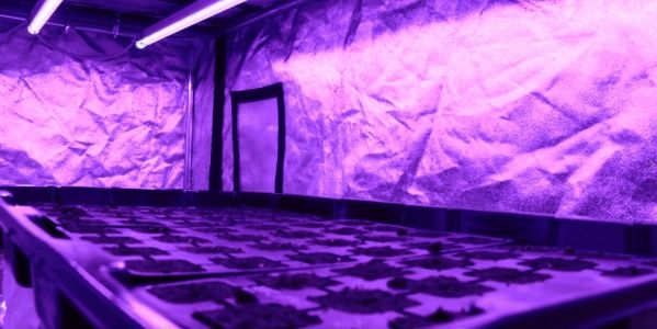 Grow your seedlings indoor under a LED horticultural lamp